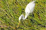 Great white egret, Ardea alba, stalking prey. Everglades National Park, Florida, USA. UNESCO World Heritage Site (Biosphere Reserve). Stock Photo - Premium Royalty-Free, Artist: Robert Harding Images, Code: 6106-05487767