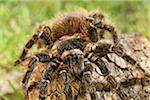 Tarantula Stock Photo - Premium Royalty-Free, Artist: Robert Harding Images, Code: 6106-05488229