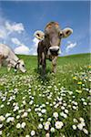 bavarian cow Stock Photo - Premium Royalty-Freenull, Code: 6106-05490613