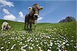 bavarian cow Stock Photo - Premium Royalty-Freenull, Code: 6106-05490614