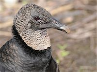 Close up of head of black vulture, Coragyps atratus. Everglades National Park, Florida, USA. UNESCO World Heritage Site (Biosphere Reserve). Stock Photo - Premium Royalty-Freenull, Code: 6106-05490805
