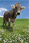 bavarian cow Stock Photo - Premium Royalty-Freenull, Code: 6106-05490952