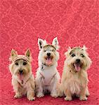 Two cairin terriers and one westie Stock Photo - Premium Royalty-Free, Artist: Minden Pictures, Code: 6106-05494440
