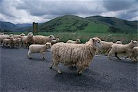 Sheepherding in the Southern Alps, New Zealand Stock Photo - Premium Royalty-Freenull, Code: 6106-05496748