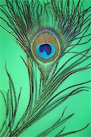 feather  close-up - Peacock Feather Stock Photo - Premium Royalty-Freenull, Code: 6106-05499081