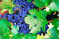 USA, California, Napa Valley, Close-up of grape wines Stock Photo - Premium Royalty-Freenull, Code: 6106-05501526