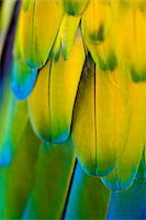 feather  close-up - Macaw, close-up of feathers Stock Photo - Premium Royalty-Freenull, Code: 6106-05502012