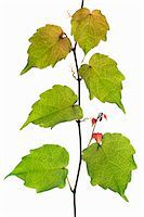 Branch of Creeper (vitacea), white background Stock Photo - Premium Royalty-Freenull, Code: 6106-05504015