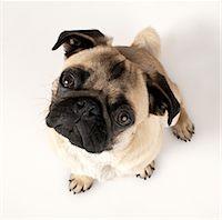 pvg - French bulldog looking at camera, elevated view Stock Photo - Premium Royalty-Freenull, Code: 6106-05505238