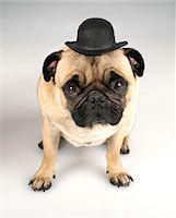 pvg - French bulldog wearing bowler, studio shot Stock Photo - Premium Royalty-Freenull, Code: 6106-05505239
