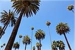 Palm Trees in Beverly Hills, Los Angeles, California, USA Stock Photo - Premium Royalty-Free, Artist: Damir Frkovic, Code: 600-05523291