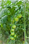 Organic Cherry Tomatoes in Greenhouse, Laugaras, South Iceland, Iceland Stock Photo - Premium Royalty-Free, Artist: Atli Mar Hafsteinsson, Code: 600-05524160
