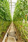 Organic Cherry Tomatoes in Greenhouse, Laugaras, South Iceland, Iceland Stock Photo - Premium Royalty-Free, Artist: Atli Mar Hafsteinsson, Code: 600-05524161