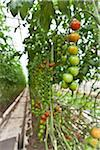 Organic Cherry Tomatoes in Greenhouse, Laugaras, South Iceland, Iceland Stock Photo - Premium Royalty-Free, Artist: Atli Mar Hafsteinsson, Code: 600-05524162