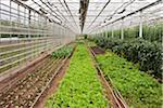 Organic Plants in Greenhouse, Laugaras, South Iceland, Iceland Stock Photo - Premium Royalty-Free, Artist: Atli Mar Hafsteinsson, Code: 600-05524163