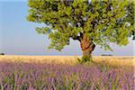 English Lavender Field with Tree, Valensole, Valensole Plateau, Alpes-de-Haute-Provence, Provence-Alpes-Cote d´Azur, Provence, France Stock Photo - Premium Royalty-Free, Artist: Martin Ruegner, Code: 600-05524622