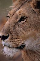 Male lion (Panthera leo) close-up of head, Kenya Stock Photo - Premium Royalty-Freenull, Code: 6106-05532302