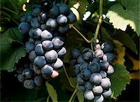Blue Grapes on the Vine Stock Photo - Premium Royalty-Freenull, Code: 6106-05541918