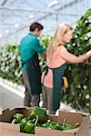 Box of produce in greenhouse Stock Photo - Premium Royalty-Freenull, Code: 635-05550707