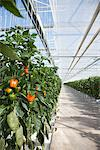 Produce growing in greenhouse Stock Photo - Premium Royalty-Free, Artist: Science Faction, Code: 635-05550714