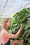 Worker picking produce in greenhouse Stock Photo - Premium Royalty-Freenull, Code: 635-05550760