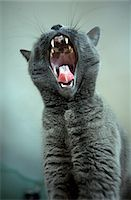 Cat Yawning with Tongue Sticking Out Stock Photo - Premium Rights-Managednull, Code: 822-05554875