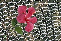 Flower lying on hammock, Tahiti, (Close-up) Stock Photo - Premium Royalty-Freenull, Code: 6106-05580337