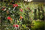 Italy, South Tyrol, apple trees near Caldaro Stock Photo - Premium Royalty-Freenull, Code: 6106-05603240