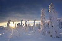 snow covered trees - Valtavaara, Kuusamo, Northern Ostrobothnia, Oulu Province, Finland Stock Photo - Premium Royalty-Freenull, Code: 600-05609966
