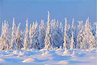 snow covered trees - Snow Covered Spruce Trees, Nissi, Northern Ostrobothnia, Finland Stock Photo - Premium Royalty-Freenull, Code: 600-05610008