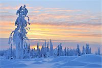 snow covered trees - Snow Covered Tree at Sunset, Nissi, Northern Ostrobothnia, Finland Stock Photo - Premium Royalty-Freenull, Code: 600-05610015