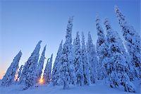 snow covered trees - Snow Covered Spruce Trees at Sunrise, Kuusamo, Northern Ostrobothnia, Finland Stock Photo - Premium Royalty-Freenull, Code: 600-05610022
