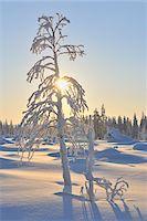Sun and Snow Covered Tree, Kuusamo, Northern Ostrobothnia, Finland Stock Photo - Premium Royalty-Freenull, Code: 600-05610024