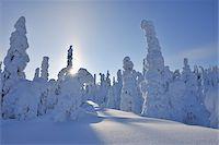Sun through Snow Covered Trees, Rukatunturi, Kuusamo, Northern Ostrobothnia, Finland Stock Photo - Premium Royalty-Freenull, Code: 600-05610042