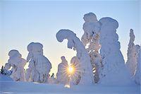 Snow Covered Trees at Sunset, Rukatunturi, Kuusamo, Northern Ostrobothnia, Finland Stock Photo - Premium Royalty-Freenull, Code: 600-05610052