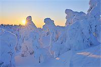 Snow Covered Trees at Sunset, Rukatunturi, Kuusamo, Northern Ostrobothnia, Finland Stock Photo - Premium Royalty-Freenull, Code: 600-05610053