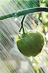 Watering Green Tomato in Garden Stock Photo - Premium Royalty-Free, Artist: Andrew Kolb, Code: 600-05610066