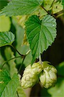 Hop Stock Photo - Premium Royalty-Freenull, Code: 689-05610226