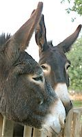 Two donkeys outdoors Stock Photo - Premium Royalty-Freenull, Code: 689-05610427