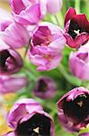Bunch of tulips Stock Photo - Premium Royalty-Freenull, Code: 689-05610919