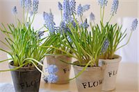 potted plant - Blooming grape hyacinths Stock Photo - Premium Royalty-Freenull, Code: 689-05610941