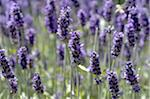 Blooming lavender Stock Photo - Premium Royalty-Freenull, Code: 689-05611177