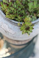 potted plant - Houseleek in a flowerpot Stock Photo - Premium Royalty-Freenull, Code: 689-05611463