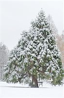 snow covered trees - Snowcapped fir Stock Photo - Premium Royalty-Freenull, Code: 689-05611703