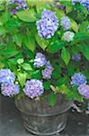 Blooming Hydrangea in flowerpot Stock Photo - Premium Royalty-Freenull, Code: 689-05611879