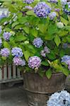 Blooming Hydrangea in flowerpot Stock Photo - Premium Royalty-Freenull, Code: 689-05611884