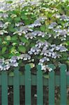 Blooming bush at garden fence Stock Photo - Premium Royalty-Free, Artist: Arcaid, Code: 689-05611917