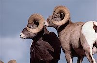 ram (animal) - Two Rams Stock Photo - Premium Royalty-Free, Artist: Robert Harding Images, Code: 6106-05615273
