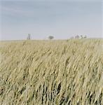 Cornfield in Wind Stock Photo - Premium Royalty-Free, Artist: Sheltered Images, Code: 6106-05620777
