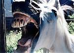 Horse's (Equus caballus) open mouth, close-up Stock Photo - Premium Royalty-Free, Artist: Science Faction, Code: 6106-05621091